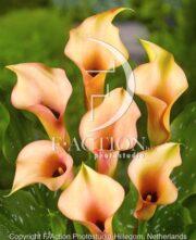 botanic stock photo Zantedeschia