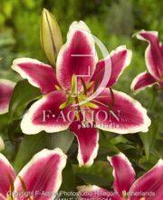 botanic stock photo Lilium