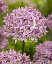 botanic stock photo Allium