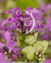 botanic stock photo Lamium
