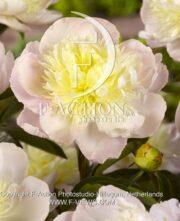 botanic stock photo Paeonia