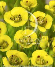 botanic stock photo Calochortus