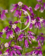 botanic stock photo Dichelostemma