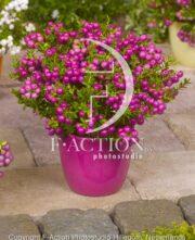 botanic stock photo Gaultheria