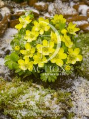 botanic stock photo Eranthis