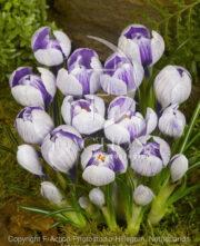 botanic stock photo Crocus