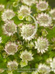 botanic stock photo Astrantia