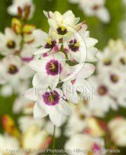 botanic stock photo Ixia