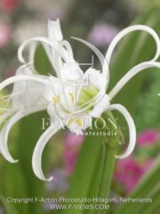 botanic stock photo Hymenocallis