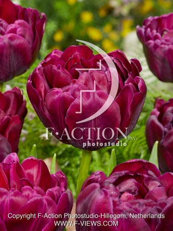 botanic stock photo Tulipa Jinan