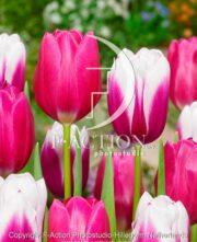 botanic stock photo Tulipa Kamaliya-Pink Ardour