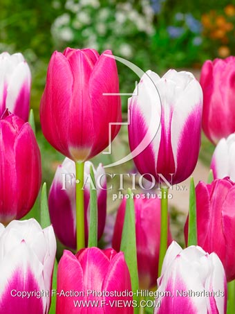 botanic stock photo Tulipa Kamaliya-Pink Ardour