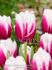 botanic stock photo Tulipa Kamaliya