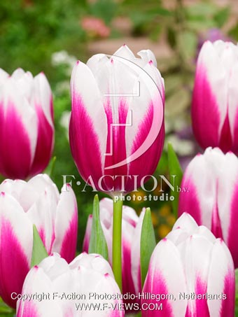 botanic stock photo Tulipa Kamaliya