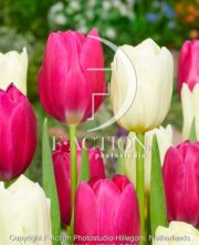 botanic stock photo Tulipa Pink Ardour-Yankee