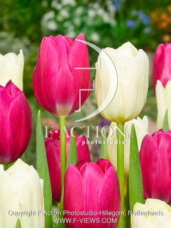 botanic stock photo Tulipa Pink Ardour-Yankee