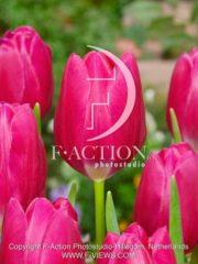 botanic stock photo Tulipa Pink Ardour