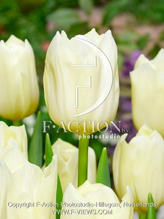 botanic stock photo Tulipa Yankee