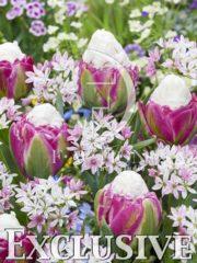 botanic stock photo Tulipa Ice Cream- Allium Cameleon