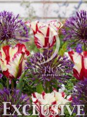 botanic stock photo Tulipa Flaming Parrot- Allium Purple Rain