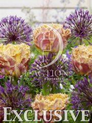 botanic stock photo Tulipa Esprit- Allium Purple Rain