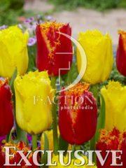 botanic stock photo Tulipa Fabio-Yellow Fabio