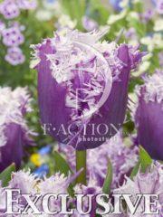 botanic stock photo Tulipa Cummings