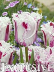botanic stock photo Tulipa Coldplay