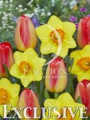 botanic stock photo Tulipa Prins Claus-Narcissus Alexia
