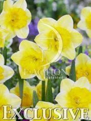 botanic stock photo Narcissus Derringer
