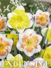 botanic stock photo Narcissus Sunset Tropical-C131