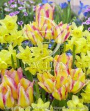botanic stock photo Tulipa Antoinette-Narcissus ?