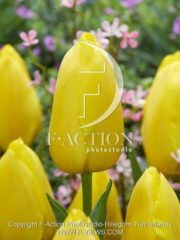 botanic stock photo Tulipa Big Smile