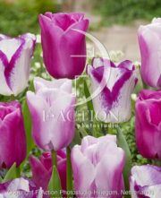 botanic stock photo Tulipa Affaire-Gabriella-Purple Raven