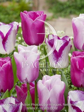 botanic stock photo Tulipa Affaire-Gabriella-Purple Raven