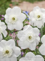 botanic stock photo Narcissus Piper's End