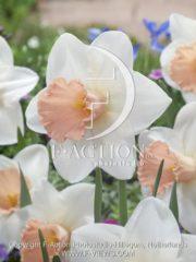 botanic stock photo Narcissus Parle Parfume