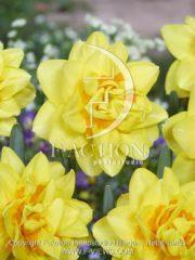 botanic stock photo Narcissus Holland Chase