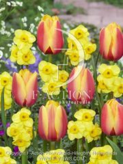 botanic stock photo Narcissus Kokopelli-Tulipa World Peace