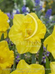 botanic stock photo Narcissus Gold Medal