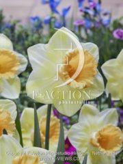 botanic stock photo Narcissus Fidelity