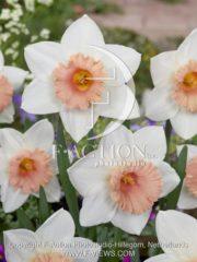 botanic stock photo Narcissus Faith
