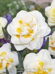 botanic stock photo Narcissus Fragrant Jewel
