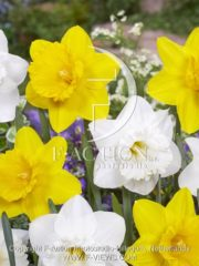 botanic stock photo Narcissus Geneve-Sint Victor