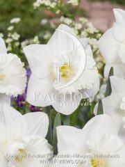 botanic stock photo Narcissus Geneve