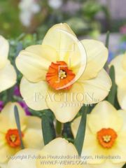 botanic stock photo Narcissus Altruist