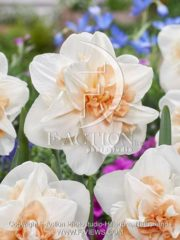 botanic stock photo Narcissus Delnashaugh