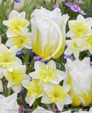 botanic stock photo Tulipa Flaming Agrass- Narcissus Prome Dance
