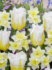 botanic stock photo Tulipa Flaming Agrass- Narcissus Prome Dance