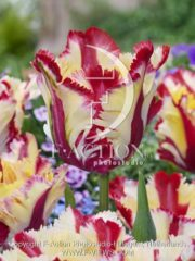 botanic stock photo Tulipa Flaming Parrot